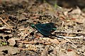 Beautiful Demoiselle - Calopteryx virgo (28513820618).jpg