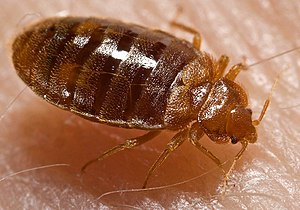 An adult bed bug (Cimex lectularius) with the ...