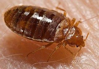 Bedbug on Person