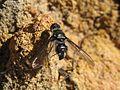 Bee fly (5213469705).jpg