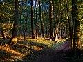 Beech woodland at sunset, Cheesefoot Head - geograph.org.uk - 209849.jpg