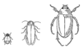 Beetle (PSF).png