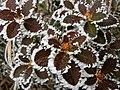 Behaarte Alpenrose (Rhododendron hirsutum).jpg