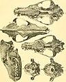 Beitrag zur Kenntnis der nordafrikanischen Schakale nebst Bemerkungen über deren verhältnis zu den haushunden, insbesondere uordafranischen und altägyptischen Hunderassen (1908) (20368742611).jpg