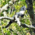 Belted Kingfisher (male) (26989665245).jpg