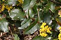 Berberis aquifolium 2692.JPG