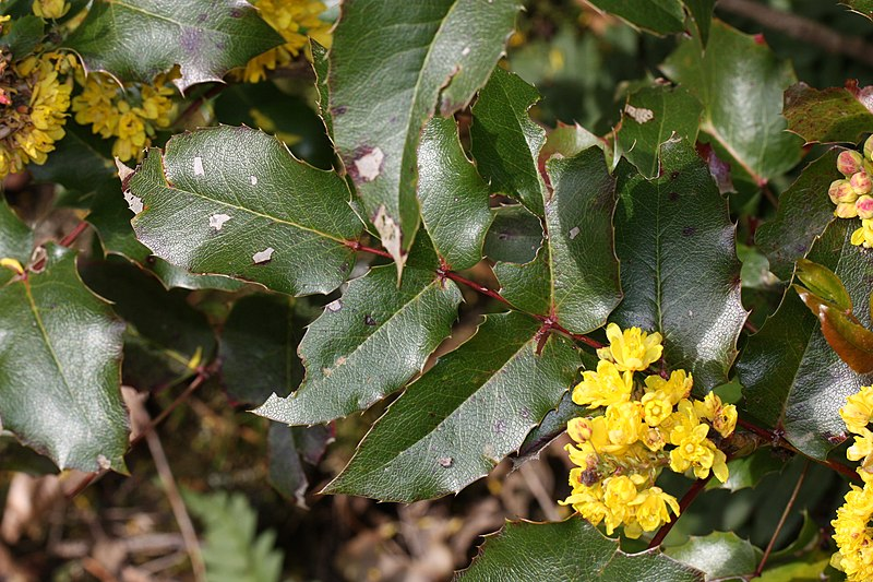 File:Berberis aquifolium 2692.JPG