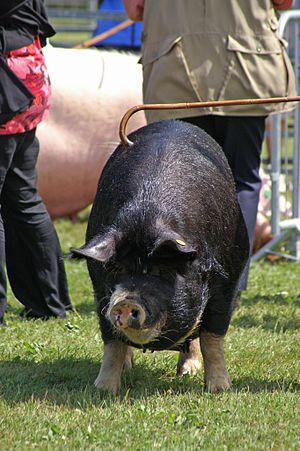 Empress of Blandings - A Berkshire sow similar to The Empress of Blandings (but much thinner)