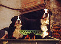 Bernese mountain dogs.jpg