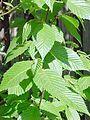 Betula alleghaniensis.jpg