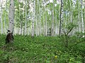 Betula platyphylla 02.jpg