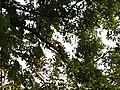 Bird White-throated Brown Hornbill Anorrhinus austeni IMG 9075 07.jpg