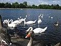 Bird life on the Round Pond - geograph.org.uk - 1494793.jpg