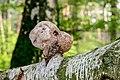 Birkenporling - birch polypore - birch bracket - razor strop - Piptoporus betulinus - 03.jpg