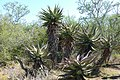 Bitter Aloe (Aloe ferox) (46342181632).jpg
