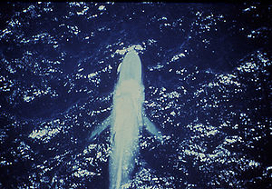 Aerial view of a blue whale showing both pecto...