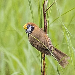 Black-breasted parrotbill (cropped).jpg