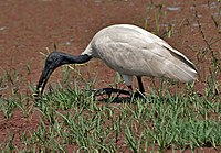 Black-headed Ibis (Threskiornis melanocephalus)- Feeding at Bharatpur I IMG 5389.jpg