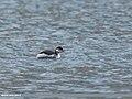 Black-necked Grebe (Podiceps nigricollis) (45839345364).jpg