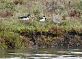 Black-necked Stilt on Aramburu Island.jpg