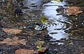 Black-throated Green Warbler (29987405852).jpg