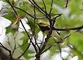 Black-throated Green Warbler (37586556492).jpg