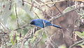 Black-throated Jay (Cyanolyca pumilo) 2.jpg
