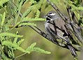 Black-throated Sparrow (33884459161).jpg