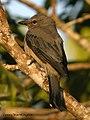 Black-winged Cuckooshrike Coracina melaschistos (Hodgson, 1836) (15732487564).jpg