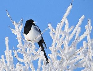 Black-billed magpie - At Seedskadee National Wildlife Refuge (Wyoming)