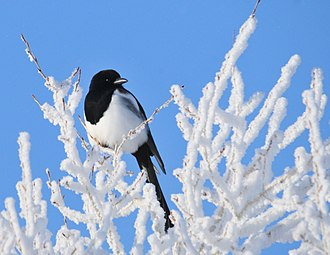 Black-billed magpie - At Seedskadee National Wildlife Refuge (Wyoming)