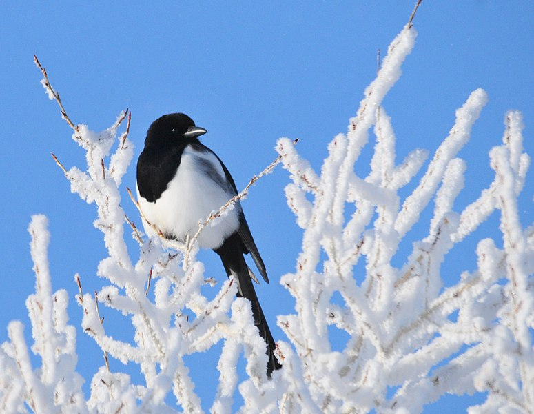 File:Black Billed Magpie on Seedskadee NWR (23063360009).jpg