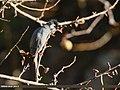 Black Bulbul (Hypsipetes leucocephalus) (32689704058).jpg