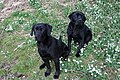 Black Labradors among the Snowdrops - geograph.org.uk - 706552.jpg