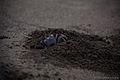 Black Sand Crab.jpg