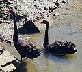 Black Swans in Newport Beach by Don Ramey Logan.jpg