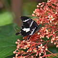 Black and White Helen (Papilio nephelus sunatus)? (23999216744).jpg