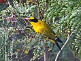 Black naped Oriole Idm IMG 5631.jpg