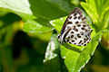 Black spotted butterfly (5536817680).jpg