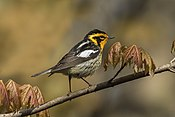 Blackburnian Warbler - Point Pelee - Ontario 10052017-FJ0A3507-Modifica (25942973358).jpg
