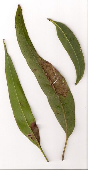 Eucalyptus pilularis - Blackbutt leaves