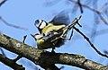 Blaumeise (Cyanistes caeruleus) im Grünfelder Park in Waldenburg. 2H1A3557WI.jpg