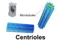 Blausen 0214 Centrioles.png