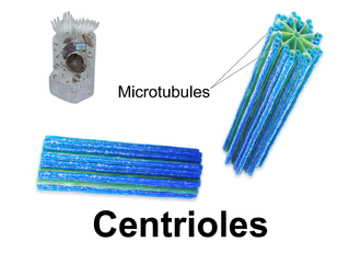 Centriole - 3D rendering of centrioles