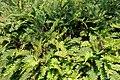 Blechnum cordatum (Blechnum chilense) - Savill Garden - Windsor Great Park, England - DSC06254.jpg