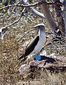 Blue-footed Booby (47014216934).jpg