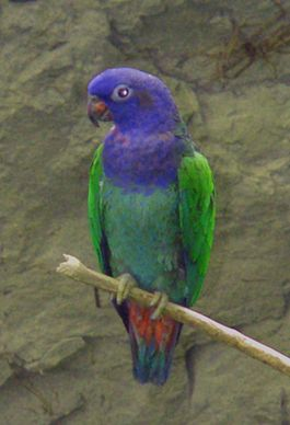Blue-headed Pionus (Pionus menstruus) -on branch2.jpg