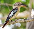Blue-winged-kookaburra444.jpg