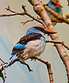 BlueBreastedKingfisher.jpg