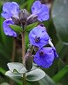 Blue Flower (3356623815).jpg